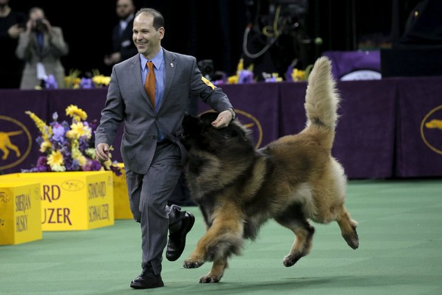 A Leonberger bites for treats in his handler's pocket as he runs during judging in the working group at the Westminster Kennel Club Dog show at Madison Square Garden in New York February 16, 2016. (Photo by Mike Segar/Reuters)