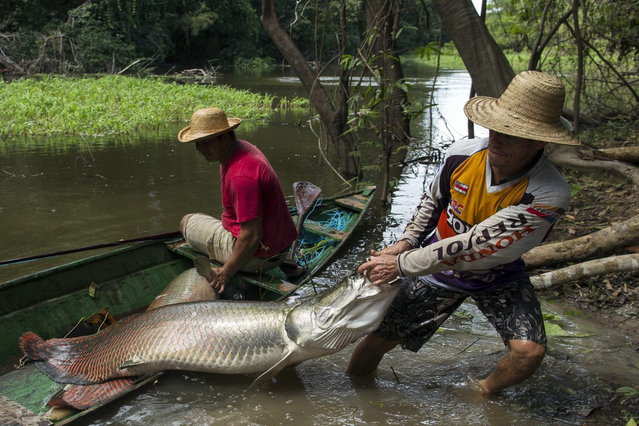Villager Diomesio Coelho Antunes (R) from the Rumao Island community drags from his canoe an arapaima or pirarucu, the largest freshwater fish species in South America and one of the largest in the world, while fishing in a branch of the Solimoes river, one of the main tributaries of the Amazon, in the Mamiraua nature reserve near Fonte Boa about 600 km (373 miles) west of Manaus, November 24, 2013. (Photo by Bruno Kelly/Reuters)