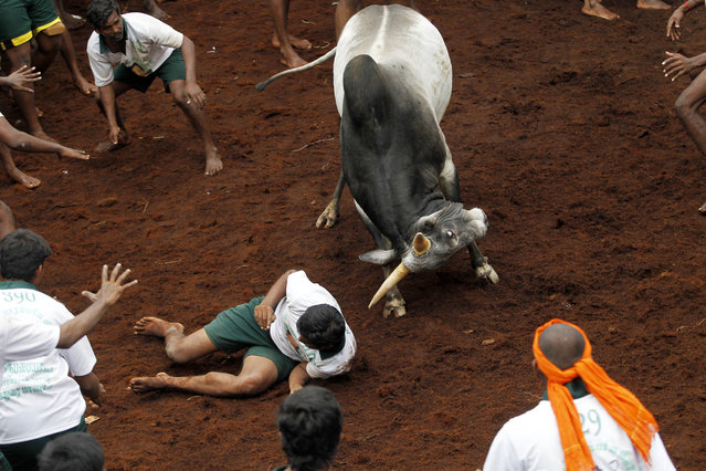 A bull tries to charge over a participant during a bull-taming sport, called Jallikattu, in Alanganallor, about 424 kilometers (264 miles) south of Chennai, India, Thursday, January 16, 2014. (Photo by Arun Sankar K./AP Photo)