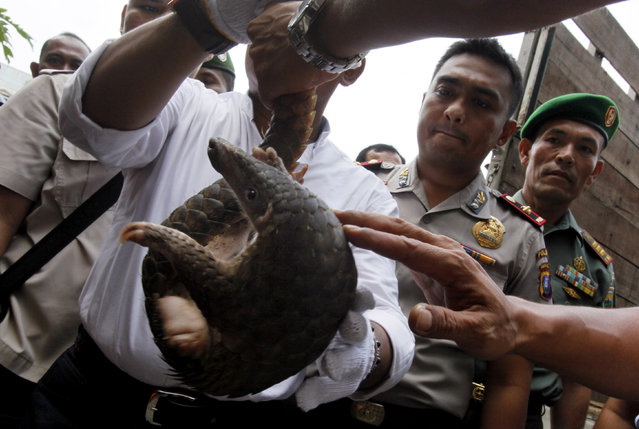 Indonesian police officers hold a pangolin prior to its release into the wild in Medan, North Sumatra, Indonesia, Monday, April 27, 2015. (Photo by Binsar Bakkara/AP Photo)