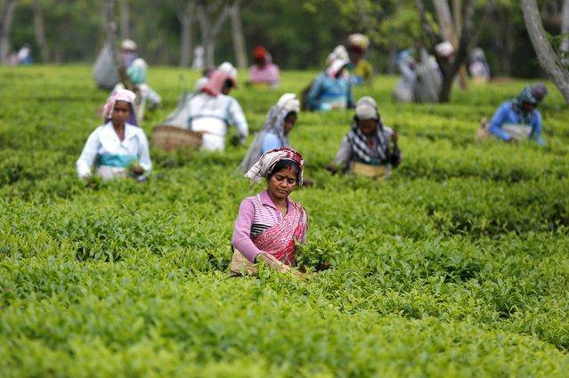 Tea garden workers pluck tea leaves inside Aideobarie Tea Estate in Jorhat in Assam, India, April 21, 2015. (Photo by Ahmad Masood/Reuters)