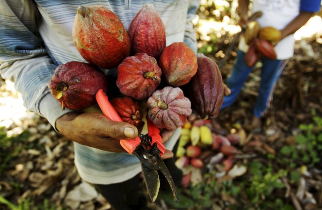 Farmers harvest cocoa fruits at a plantation in Gantarang Keke Village, South Sulawesi, Indonesia May 8, 2015. (Photo by Yusuf Ahmad/Reuters)