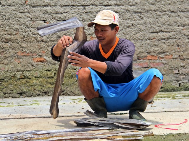 A worker smooth dries snake skins in the village of Kertasura, Cirebon. (Photo by Nurcholis Anhari Lubis/Getty Images)
