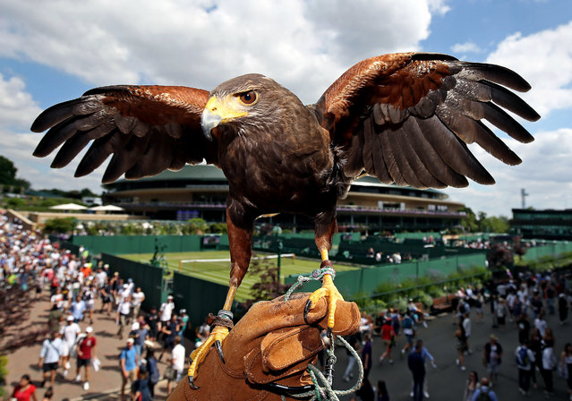 Rufus the Hawk, used by the All England Lawn Tennis and Croquet Club to keep pigeons away, on day three of the Wimbledon Championships at the All England Lawn Tennis and Croquet Club, London on July 3, 2019. (Photo by Philip Toscano/PA Images via Getty Images)