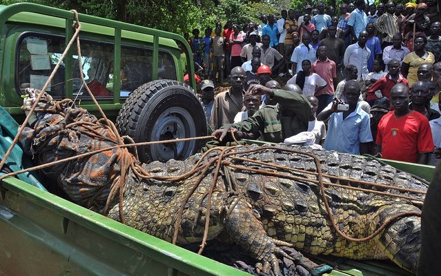 This picture taken on March 31, 2014 shows residents of the Kakira village, in the Jinja District of eastern Uganda, gathering to look at a crocodile that was captured by Uganda Wildlife Authority (UWA) staff. (Photo by Peter Busomoke/AFP Photo)