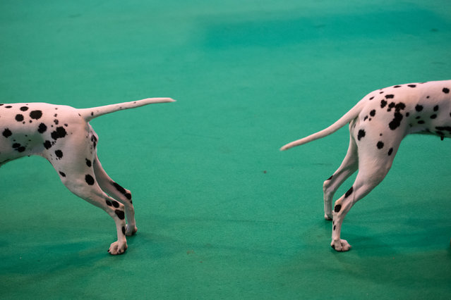 Dalmation dogs are shown on the second day of the Crufts dog show at the National Exhibition Centre in Birmingham, central England, on March 10, 2017. (Photo by Oli Scarff/AFP Photo)