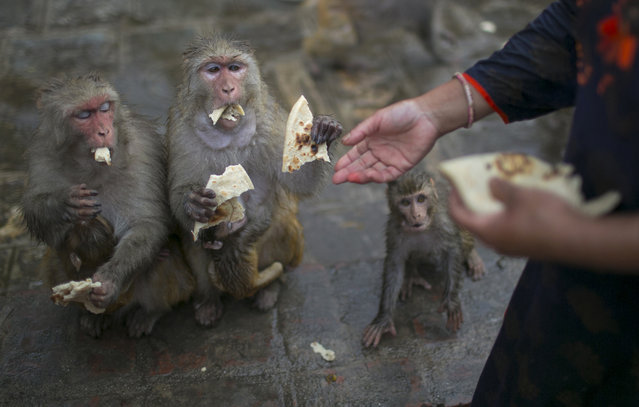 In this July 5, 2019, photo, Saraswati Dangol feeds monkeys in the forest near Pashupatinath temple in Kathmandu, Nepal. For the past four years, Dangol has been bringing the bread every day to feed the monkeys. As soon as they see her with her white sack, they gather around her, some patiently waiting for their turn while others less patiently snatching the bread from her hands. (Photo by Niranjan Shrestha/AP Photo)
