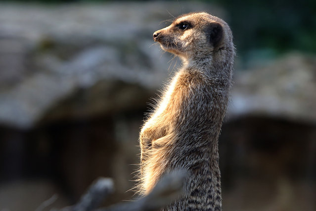 A Meercat at Zoo Frankfurt on May 8, 2014 in Frankfurt am Main, Germany. The Zoo in Frankfurt is the 2nd oldest in Germany and holds  about 4500 individuals from about 500 animals species. (Photo by Hannelore Foerster/Getty Images)