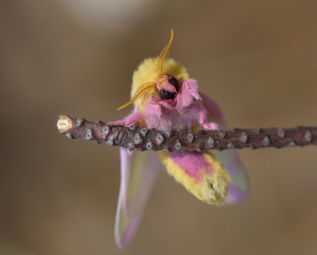 """""""Rosy Maple Moth"""". Rosy Maple Moth captured climbing on tree limb in Maryland forest. Photo location: Clarksburg, Maryland. (Photo and caption by Scott Kenney/National Geographic Photo Contest)"""