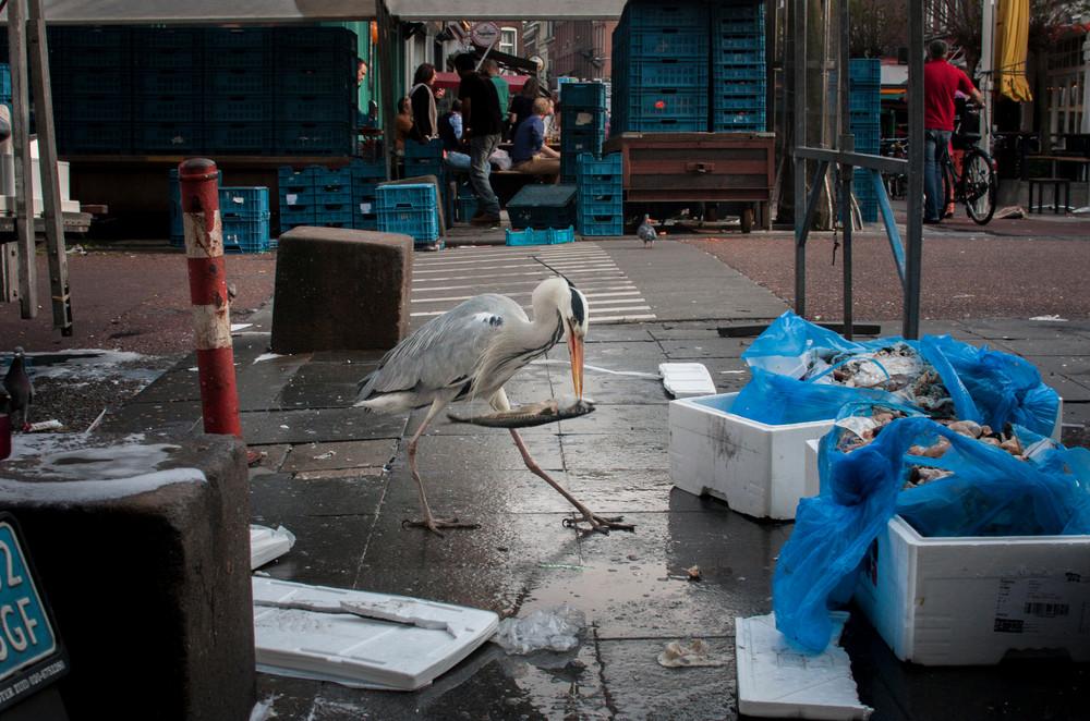 The Urban Herons of Amsterdam