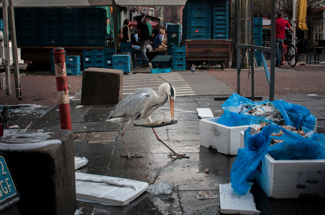 Hundreds of herons come to the city during winter to find food and shelter. (Photo by by Julie Hrudova/The Guardian)