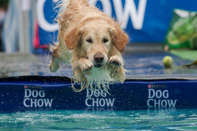 Dog Daley: A dog jumps into the water during a dog diving competition in Budapest, Hungary. (Photo by Xinhua/Landov/Barcroft Media)