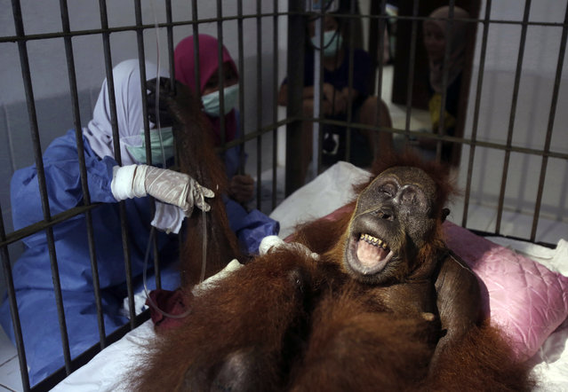 """In this photo taken on Sunday, March 17, 2019, veterinarians and volunteers of Sumatra Orangutan Conservation Programme (SOCP) tend to a female orangutan they named """"Hope"""" after conducting a surgery for infections in some parts of the body and to fix broken bones, at SOCP facility in Sibolangit, North Sumatra, Indonesia. A veterinarian says the endangered orangutan that had a young baby has gone blind after being shot at least 74 times, including six in the eyes, with air gun. The baby orangutan died from malnutrition last Friday as rescuers rushed the two to the facility. (Photo by Binsar Bakkara/AP Photo)"""