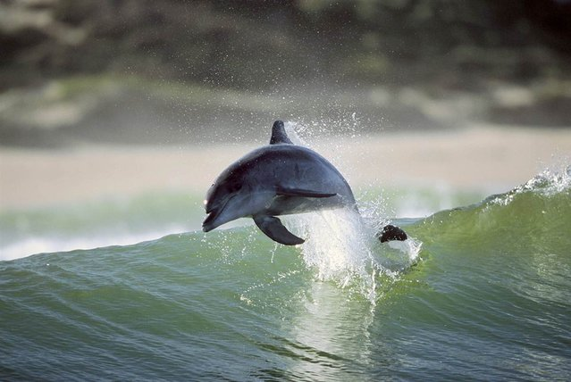 Photographer Greg Huglin of Santa Barbara, Calif., captured these striking images of bottlenose dolphins during three trips to the South African coast between 2000 and 2007. He shot the photos along a stretch of coastline between Port Elizabeth and Wilderness
