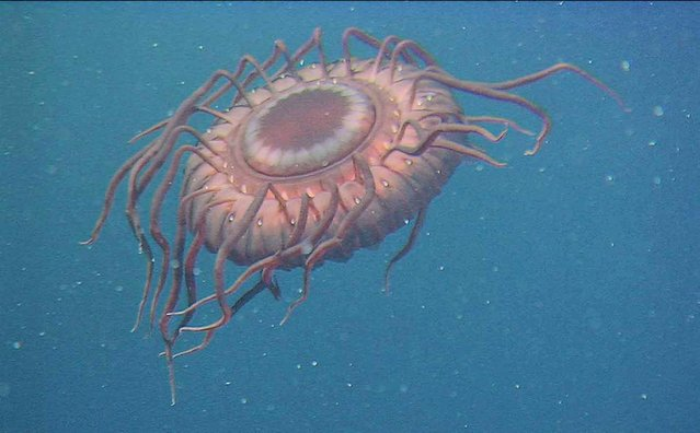 When attacked by a predator, this deep-sea jellyfish (Atolla wyvillei) uses bioluminescence to scream for help. The amazing light show is known as a burglar alarm display. This jellyfish was photographed by the ROV Hyper Dolphin east of Japan's Izu-Oshima Island, 2,640 feet (805 meters) below the surface