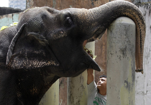 "Forty One year old Elephant ""Maali"" is fed by a zoo keeper inside an enclosure at the Manila Zoo, Philippines, 11 August 2015. (Photo by Diego Azubel/EPA)"