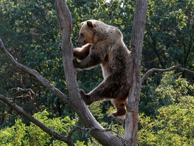 A brown bear is seen in a shelter for bears in the village of Berezivka near Zhytomyr, Ukraine August 15, 2017. Five bears, which suffered bad treatment were rescued from circuses and private zoos and restaurants, live in the bear rescue center, opened in 2012 by international animal charity Four Paws. (Photo by Gleb Garanich/Reuters)