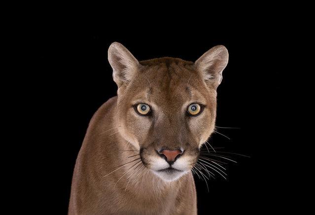 Mountain lion. (Photo by Brad Wilson)