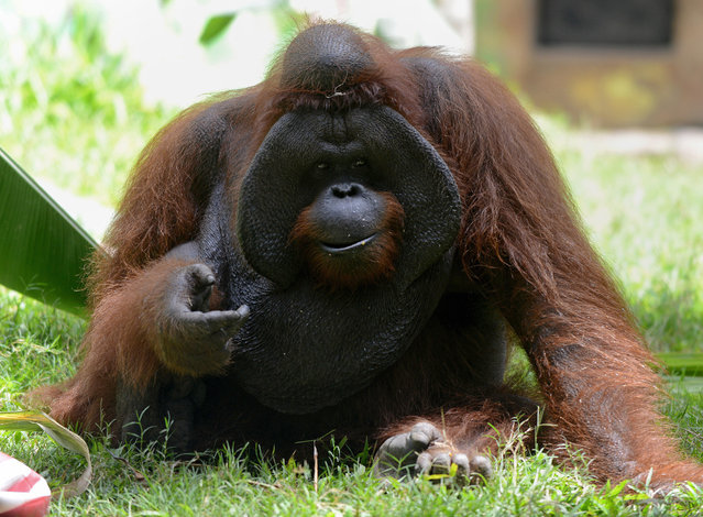 """An orangutan named """"Jacky"""", who originated in Borneo, is pictured during celebrations marking his 38th birthday at Bali Zoo in Gianyar on the Indonesian resort island on September 4, 2015. Orangutans, native to Borneo as well as Indonesia's Sumatra island, are faced with extinction from poaching and the rapid destruction of their forest habitat, driven largely by land clearance for palm oil and paper plantations. (Photo by Sonny Tumbelaka/AFP Photo)"""