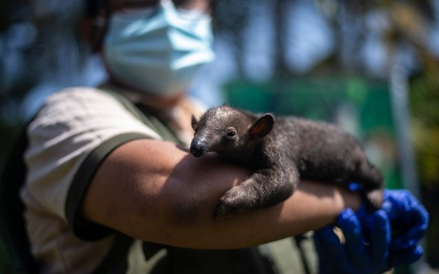 An employee holds a tamandua born during the quarantine due to the new coronavirus pandemic as it is presented to the press at the Huachipa zoo in Lima on May 08, 2020. The Huachipa Zoo launched a fundraising campaign to continue feeding the more than a thousand animals it houses. (Photo by Ernesto Benavides/AFP Photo)