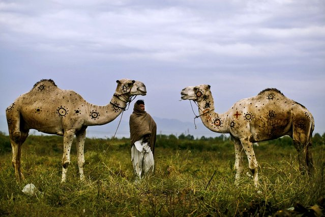 """Faqir Zada stands on a roadside on the outskirts of Islamabad, Pakistan, with the camels he is selling for the upcoming Muslim holiday of Eid al-Adha, or """"Feast of Sacrifice"""" October 15, 2012. Faqir says he painted the camels to attract customers. (Photo by Muhammed Muheisen/Associated Press)"""