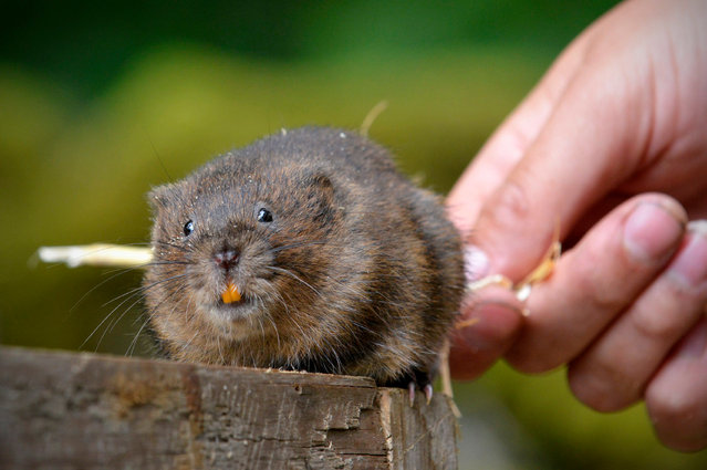 Around 100 water voles are being reintroduced into the National Trust's Malham Tarn in North Yorkshire this weekend. This is the first time the endangered mammals have been seen in the area for 50 years, since the original colony was wiped out by mink in the 1960s. Once a common sight, water vole numbers have dropped by almost 90% in recent years. (Photo by Richard Rayner/North News & Pictures Ltd for National Trust)