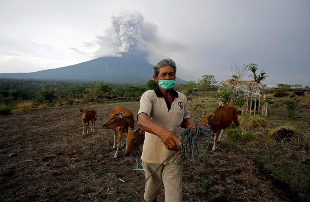 A villager leads his cows to a filed with Mount Agung volcano erupting in the background in Karangasem, Bali, Indonesia, Tuesday, November 28, 2017. Indonesia's disaster mitigation agency says the airport on the tourist island of Bali is closed for a second day due to the threat from volcanic ash. (Photo by Firdia Lisnawati/AP Photo)