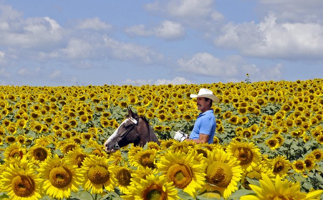 Bob Grutza rides on horseback through his field of sunflowers Tuesday, July 15, 2014 near Maysville, Ky. Grutza has five acres of sunflowers on his property. (Photo by Terry Prather/AP Photo/The Ledger Independent)