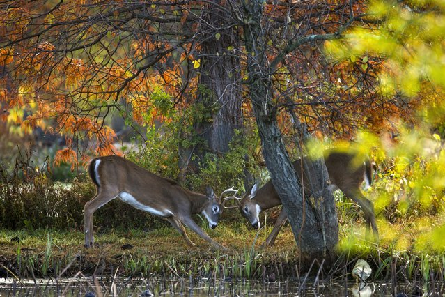 Two deer spar with their antlers at Kenilworth Aquatic Gardens in Washington, DC, USA, 30 October 2014. Fall foliage is near peak color in the DC region. (Photo by Jim Lo Scalzo/EPA)