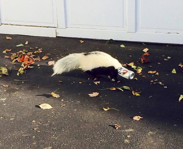 A skunk with a beer can stuck on its head is seen in Oxford, Ohio September 14, 2014. The skunk was found near a college fraternity house and an animal control officer was able to free the skunk without getting sprayed, according to Oxford police. (Photo by Matt Hatfield/Reuters/Oxford Police Department)