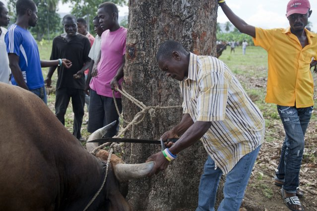 In this November 9, 2014 photo, a man sharpens the horn of a bull that will be made to fight another bull in Leogane, Haiti. When several owners are satisfied with the bets, two bulls are released to charge into a bone-rattling collision. (Photo by Dieu Nalio Chery/AP Photo)