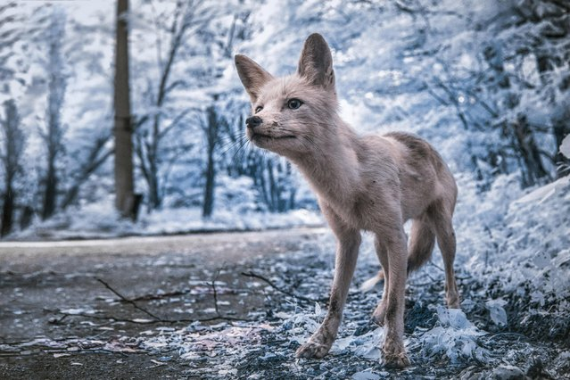 Simon – a friendly fox, who often approaches tourists in the exclusion zone, asking for food. (Photo by Vladimir Mitgutin/Caters News Agency)