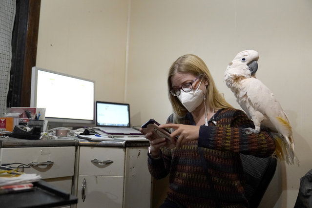 Jessica Murray pauses to look at her phone with her cockatoo Misha on her shoulder while working on website she started to honor lives lost to COVID-19 Thursday, October 29, 2020, in St. Louis. Murray, who works in marketing and sales support for a construction firm and never worked as a writer, has provided mostly short life stories of those who've died in vignettes that are elegant and moving in their simplicity. (Photo by Jeff Roberson/AP Photo)