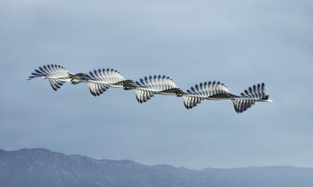 Audouin's gull at Ebro Delta. (Photo by Xavi Bou/Rex Features/Shutterstock)