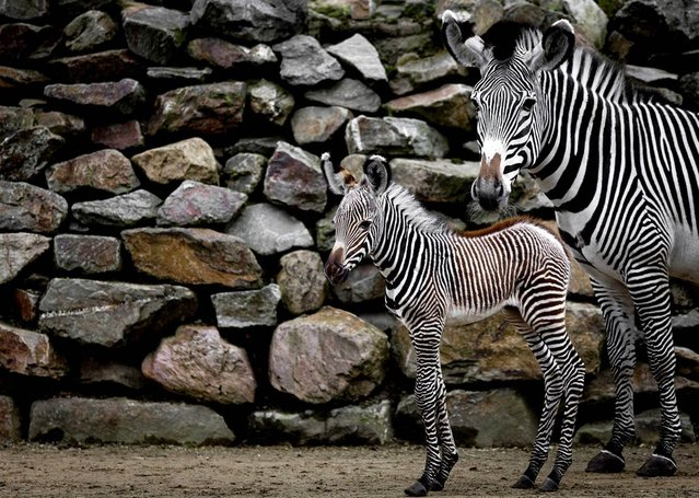 A newborn zebra stays close to its mother on its first day outside the barn at the Artis zoo in Amsterdam, the Netherlands. (Photo by Sander Koning/EPA)