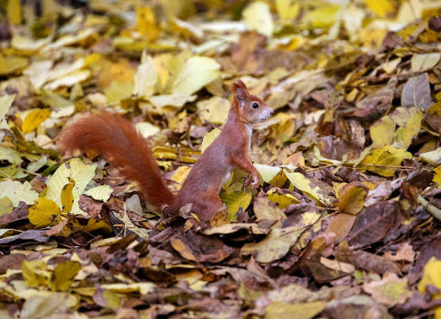 A squirrel is seen in a park in central Chisinau, Moldova October 29, 2016. (Photo by Gleb Garanich/Reuters)