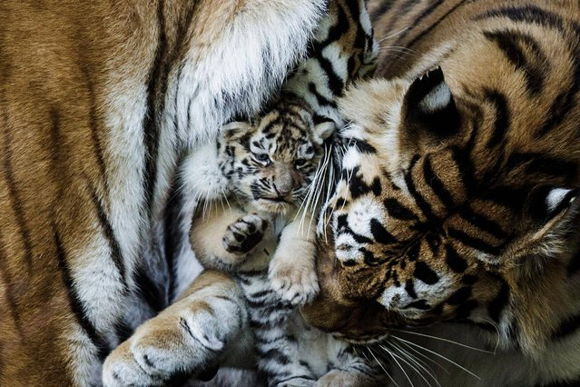 Six Amur Tiger cubs born in Copenhagen Zoo in Denmark late April 2013, came out into the open and could be seen by the public for the first time Thursday, May 30, 2013. The six cubs are from two litters born in late April by two tiger mothers. (Photo by Simon Fals/AP Photo/Polfoto)