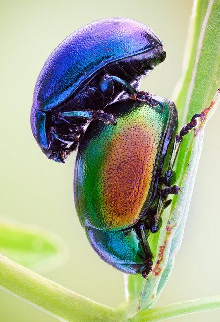 Chrysolina. A pair of Chrysolina varians, Chrysomelidae; Size: 5 mm. (John Hallmén)