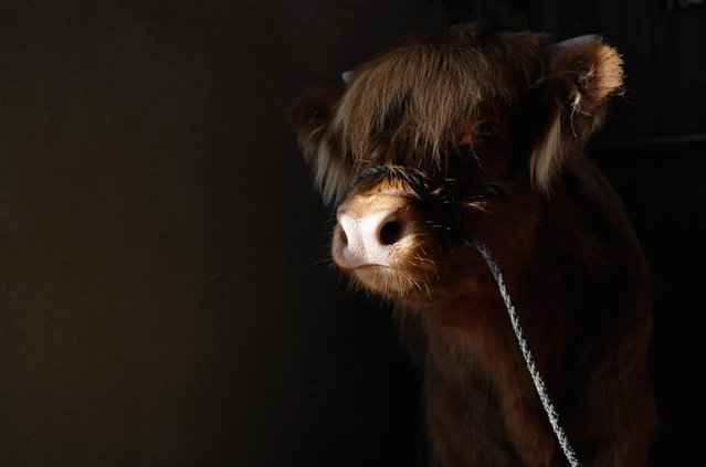 A Highland calf waits in her stall at the Great Yorkshire Show on July 9, 2013 in Harrogate, England. (Photo by Ian Forsyth/Getty Images)