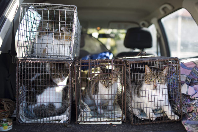 Stray cats sit in a trapping cages in the trunk of an SPCA (Society for Prevention of Cruelty to Animals) car after being caught to be steilized in Jerusalem, Israel, 06 January 2016. (Photo by Abir Sultan/EPA)
