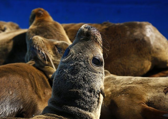A rescued malnourished sea lion rests in the sun at Sea World in San Diego, California March 17, 2015. (Photo by Mike Blake/Reuters)