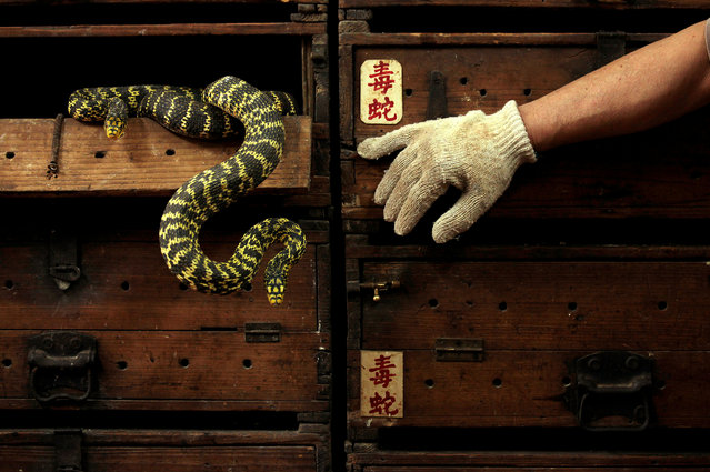"Snakes hang from a wooden cabinet marked with the Chinese characters ""poisonous snake"", at a snake soup shop ahead of the Spring Festival in Hong Kong January 29, 2013. (Photo by Bobby Yip/Reuters)"