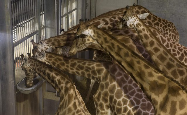 A zoo veterinarian feeds giraffes at the Paris Zoological Park in the Bois de Vincennes in the east of Paris March 26, 2015. (Photo by Philippe Wojazer/Reuters)