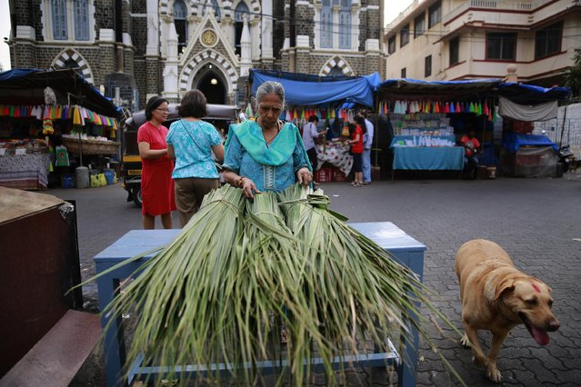 An Indian Christian devotee picks palm leaves for the Palm Sunday mass at a Church in Mumbai, India, Sunday, March 29, 2015. (Photo by Rafiq Maqbool/AP Photo)