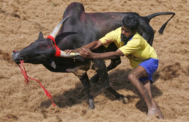 A bull tamer holds on to the horn of a bull during the bull-taming sport called Jallikattu, in Palamedu, about 575 kilomters (359 miles) south of Chennai, India, Tuesday, January 15, 2013. (Photo by Arun Sankar K./AP Photo)