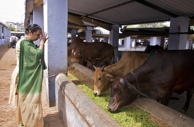 In this April 2, 2015 photo, a devout Hindu Vinod Chopra offers prayers after feeding cows at a shelter for cows in New Delhi, India. Cows have traditionally been revered in India as Hindus consider the animal sacred. (Photo by Saurabh Das/AP Photo)