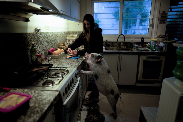 Luciana Benetti, 16, feeds her pet pig Chanchi, given to her for a birthday present the previous year in Buenos Aires, Argentina, Saturday, September 4, 2021. As the new coronavirus began to circulate last year, Benetti found her plans for a big traditional 15th birthday party scrapped. In its place, her parents gave her a pig. (Photo by Natacha Pisarenko/AP Photo)