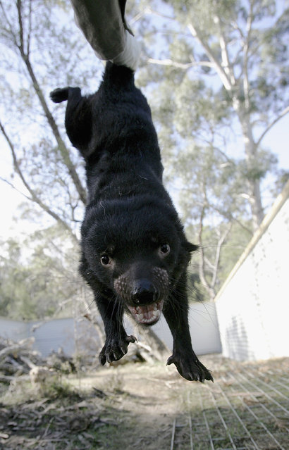 A Tasmanian Devil is captured for a health inspection at a quarantine facility on Maria Island August 26, 2005 near Hobart, Australia. (Photo by Ian Waldie/Getty Images)