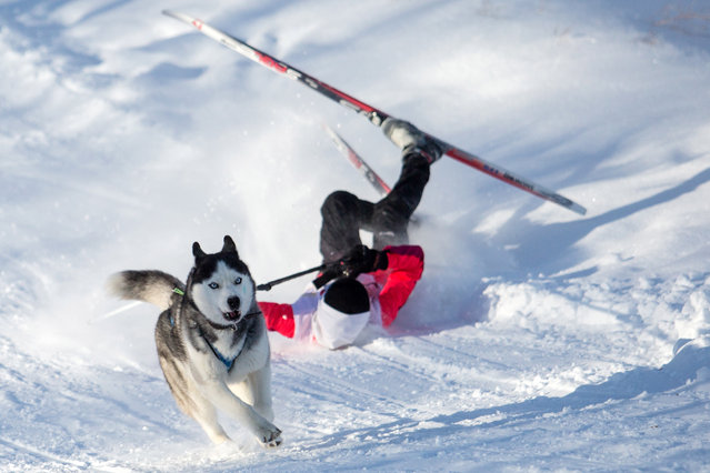 A participant falls over during a dog sledding race at the Hyperborea 2017 tournament in Omsk, Russia on January 30, 2017. (Photo by Dmitry Feoktistov/TASS)