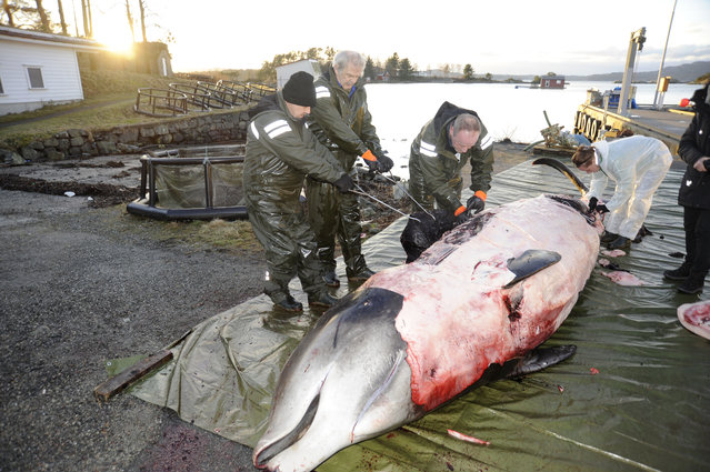 """In this handout photo from the University of Bergen taken on Tuesday, January 31, 2017, researchers from the university begin dissecting a two-ton whale that was beached in shallow waters off Sotra, an island west of Bergen, some 200 kilometers (125 miles) northwest of Oslo. Norwegian zoologists have found about 30 plastic bags and other plastic waste in the stomach of a beaked whale that had beached on a southwestern Norway coast. Terje Lislevand of the Bergen University says the visibly sick, 2-ton goose-beaked whale was euthanized. Its intestine """"had no food, only some remnants of a squid's head in addition to a thin fat layer"""". (Photo by University of Bergen via AP Photo)"""